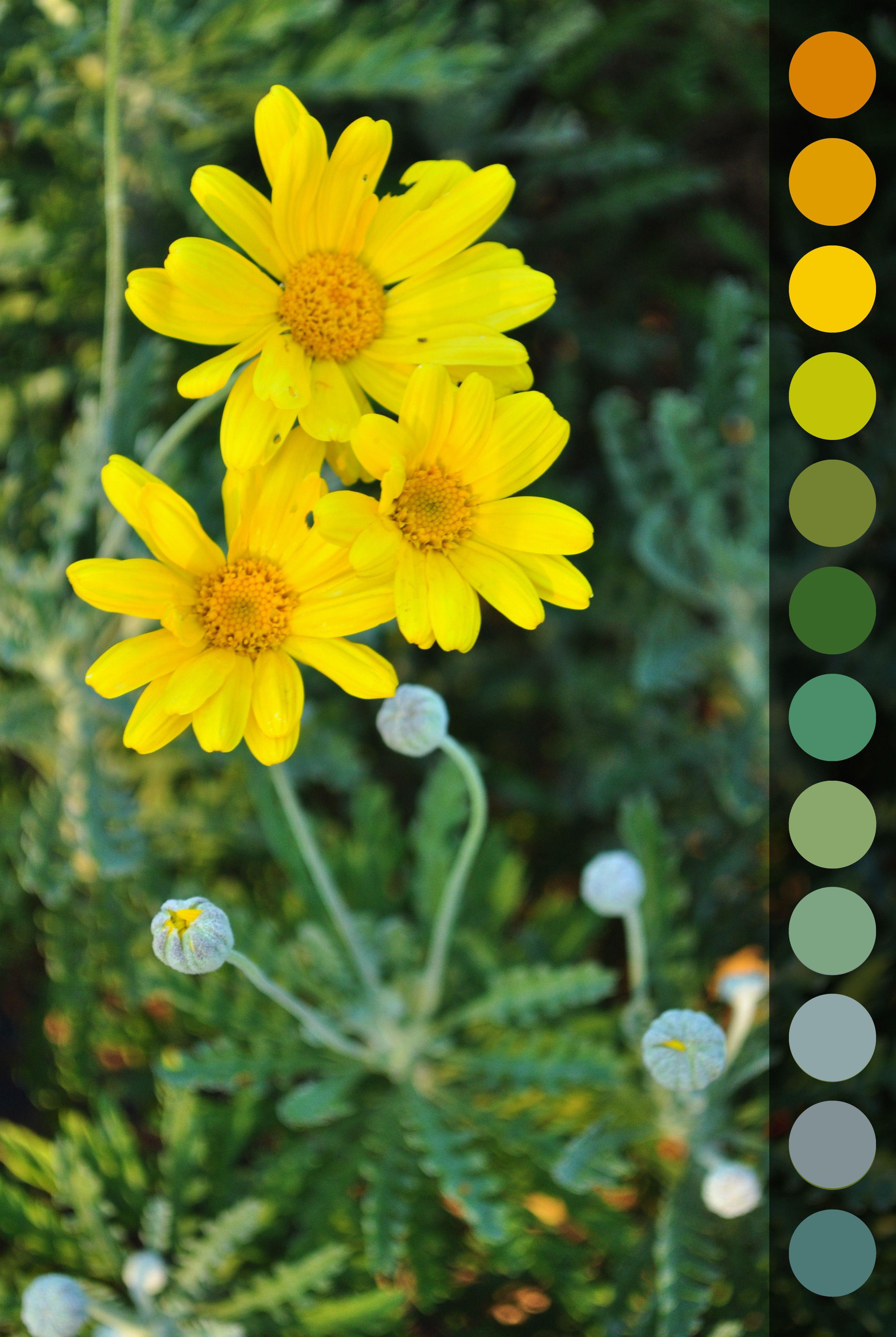 Euryops Pectinatus   Arbusto Sempreverde Con Piccole Foglie  Verde Argentate, La Sua Fioritura Avviene
