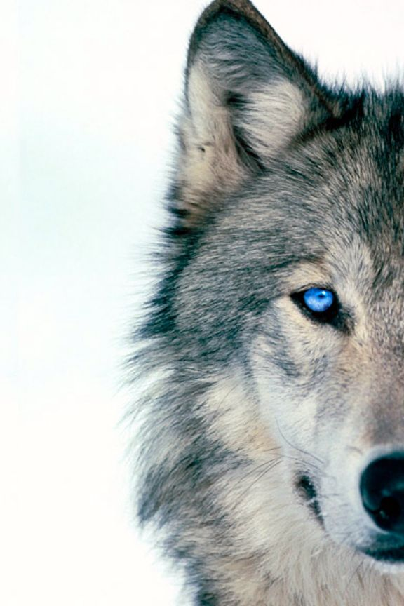 This Infinite Paradox Blue Eyed Wolf By Blue Eyed Wolf