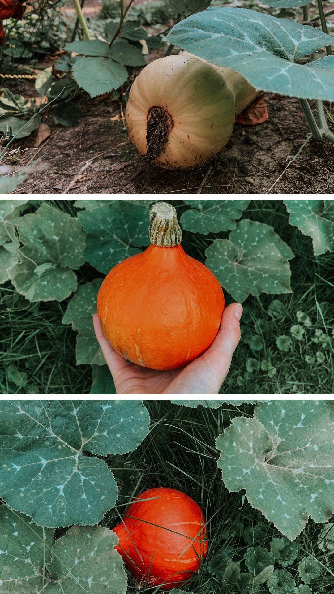 Pumpkins Pumpkin Fall Season Vegetables
