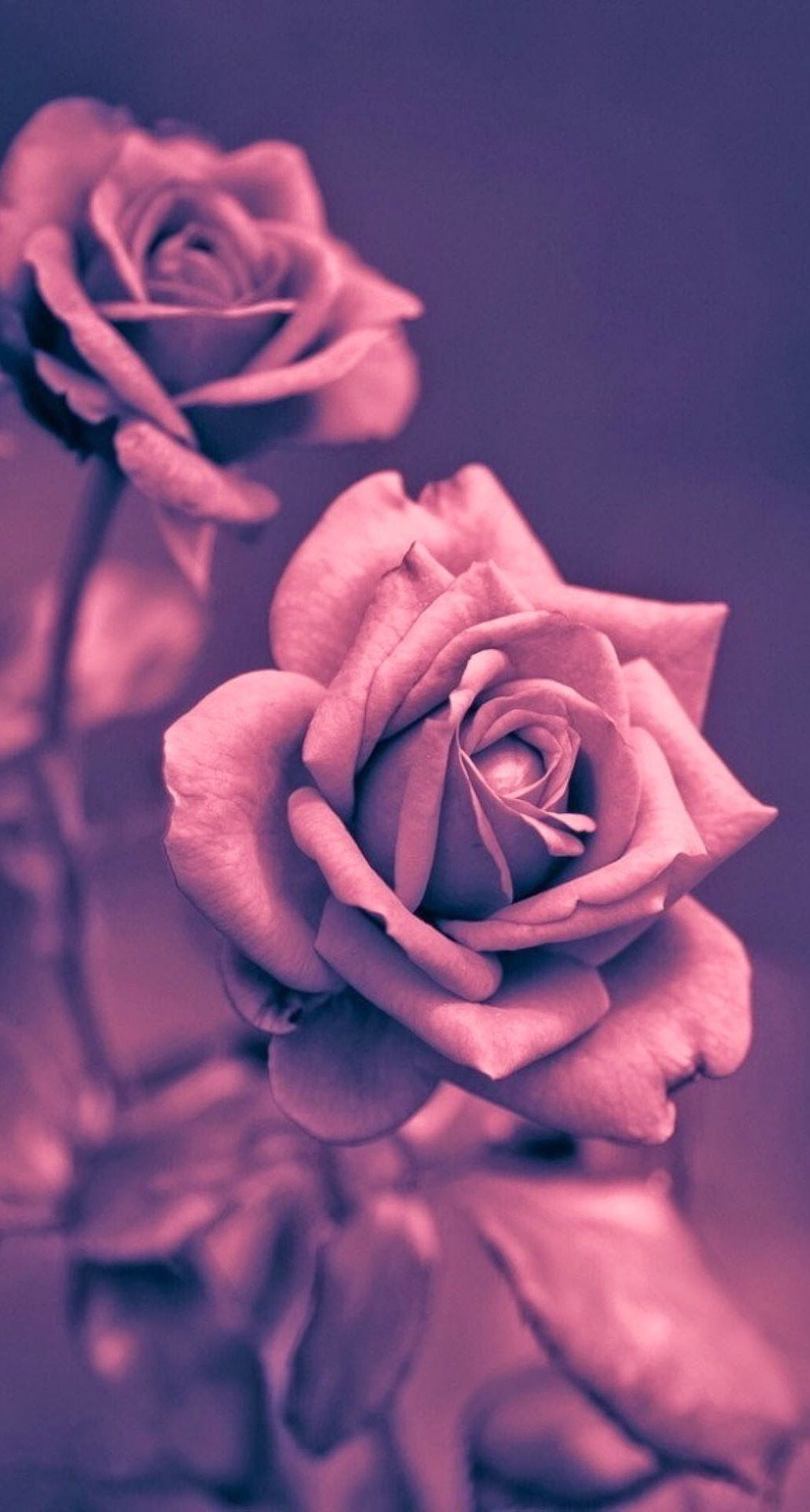 Beautiful Pink Rose Closeup Iphone Plus Hd Wallpaper Hd Wallpapers