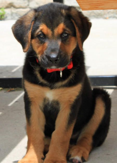 This is a Shepard mix... I definitely think that our little man may just be part Shepard!