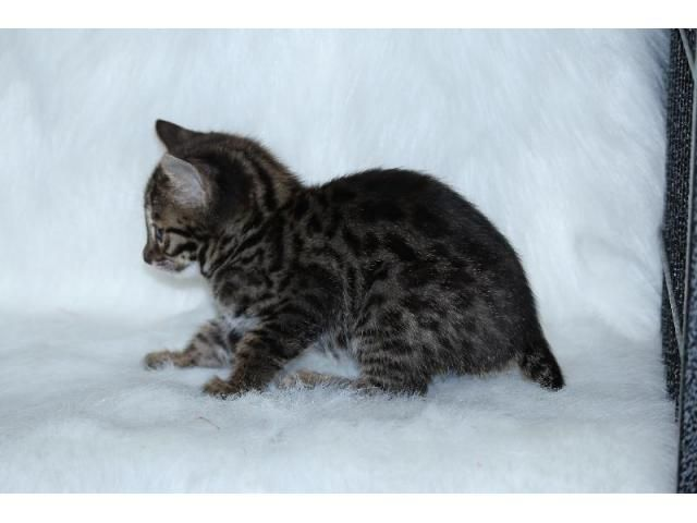F2 bengal kittens for sale | bengal kittens | Bengal kittens
