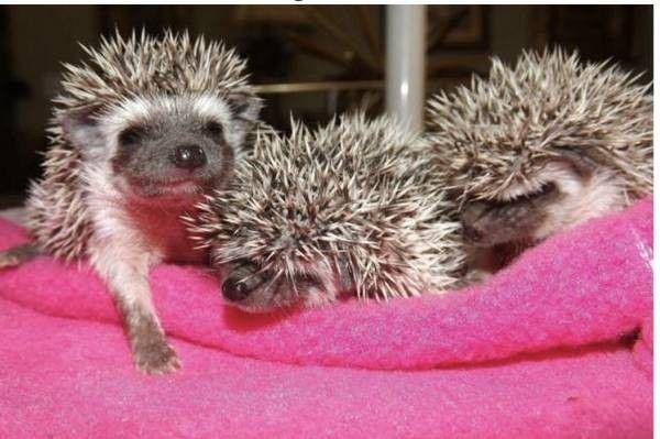 car sez on craigslist what hedgehogs wild things pinterest