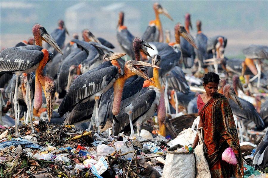 marabu-storks @ landfill