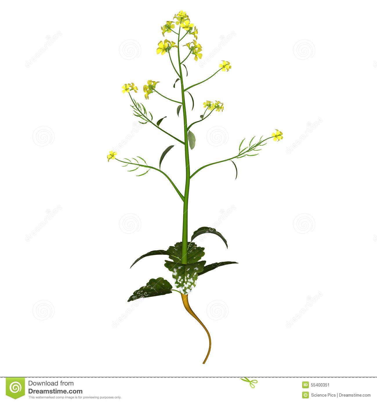 mustard-plant-plants-any-several-species-genera-brassica ...