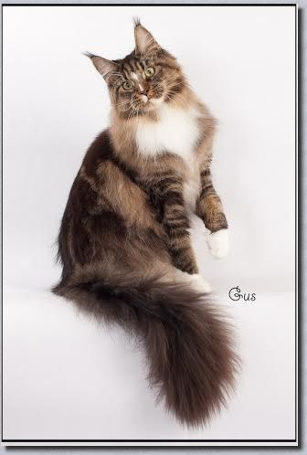 Pin Na Doske Maine Coon