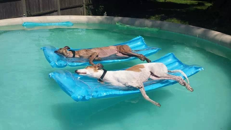 "Greyhound Rescue of Atlanta posted this pic on Facebook with the caption ""Athletes in retirement"""