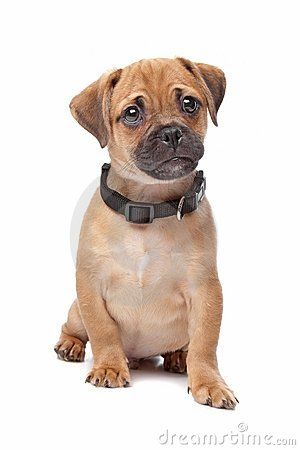 Pug Spaniel Cross A Spug Mixed Breed Puppies Mixed Breed