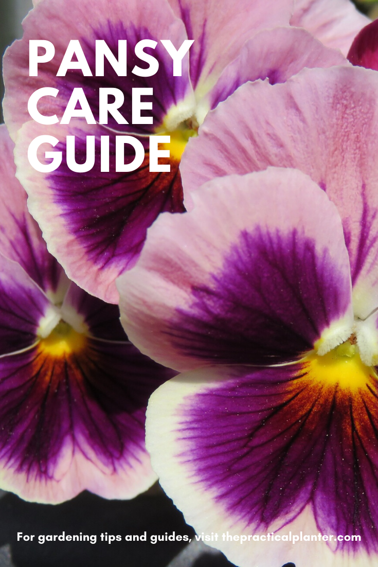 How To Grow And Care For Pansies Tips Varieties Pests And Diseases The Practical Planter In 2020 Pansies Pansies Flowers Flowers Perennials