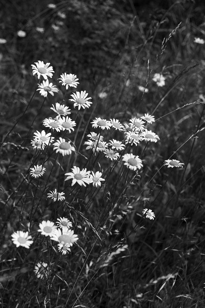 Black And White Photograph Of Wild Daisies Growing In A Summer Meadow Black And White Picture Wall Black And White Landscape White Aesthetic Photography