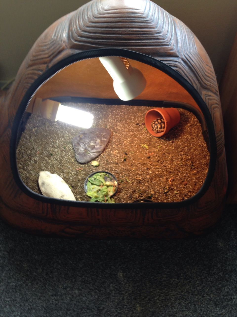 1yr old marginated tortoise | West Molesey, Surrey | Pets4Homes