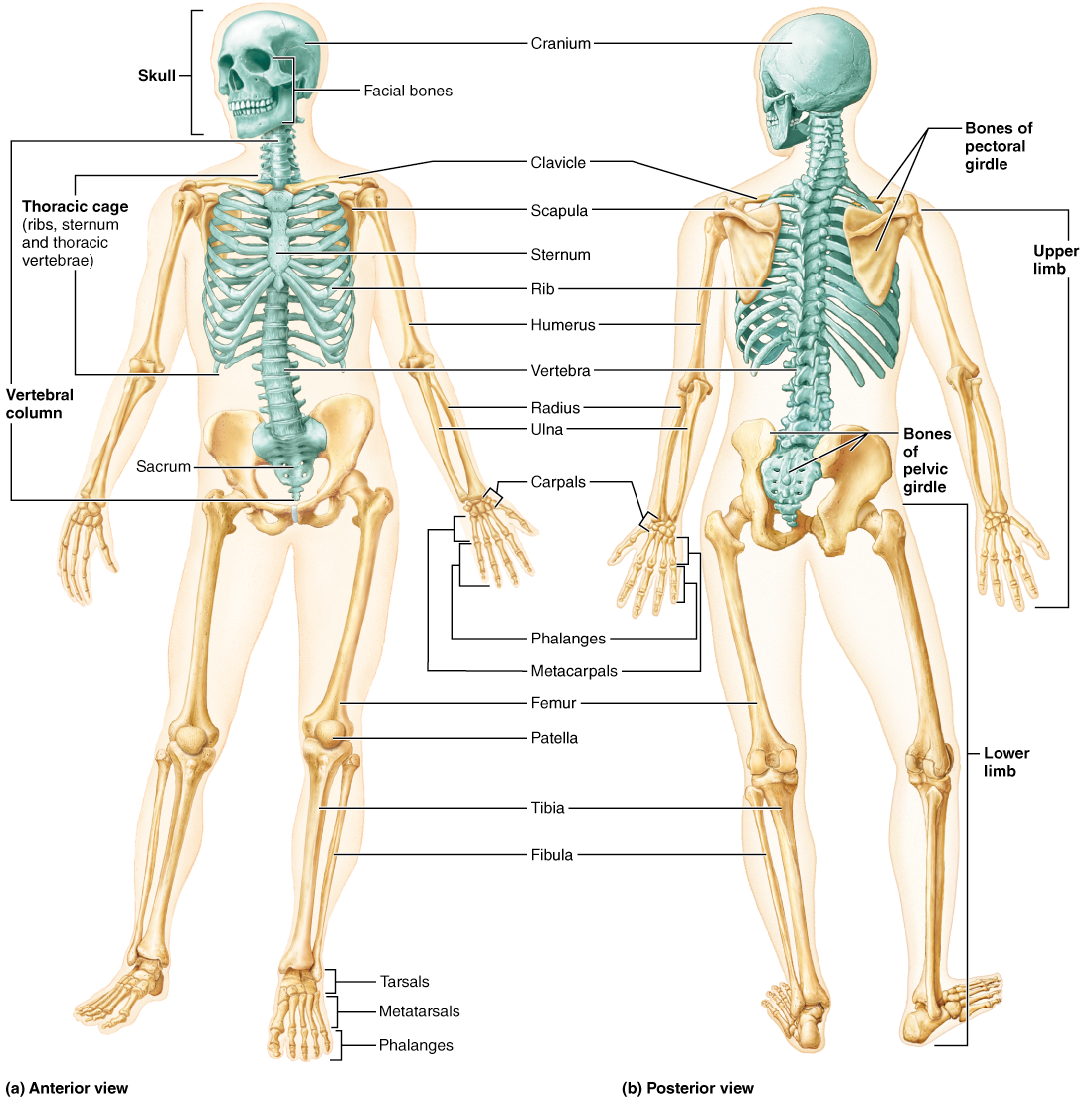 Chapter 7: Bones, Part 1: The Axial Skeleton | Anatomy and ...