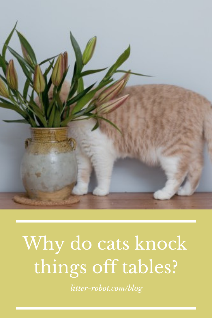 Why Do Cats Knock Things Off Tables Litter Robot Blog Cats