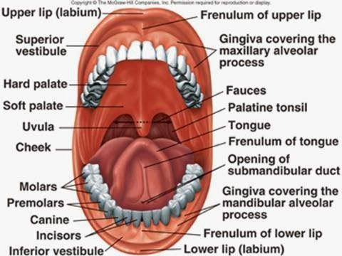 diagrams: buccal cavity diagram