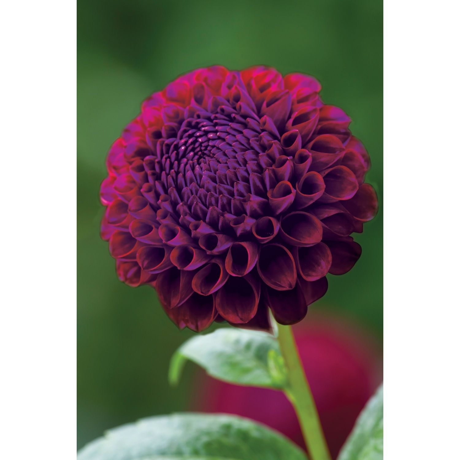 Is A Neat Small Flowered Dahlia The Perfect Size For Hand Tied
