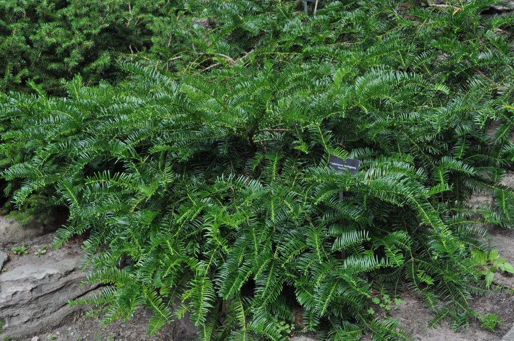 Japaneses Plum Yew Prostrata - Spreading Japanese Plum Yew ...
