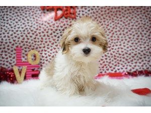 Available Puppies Petland Racine Puppies Dogs For Sale Pet Adoption