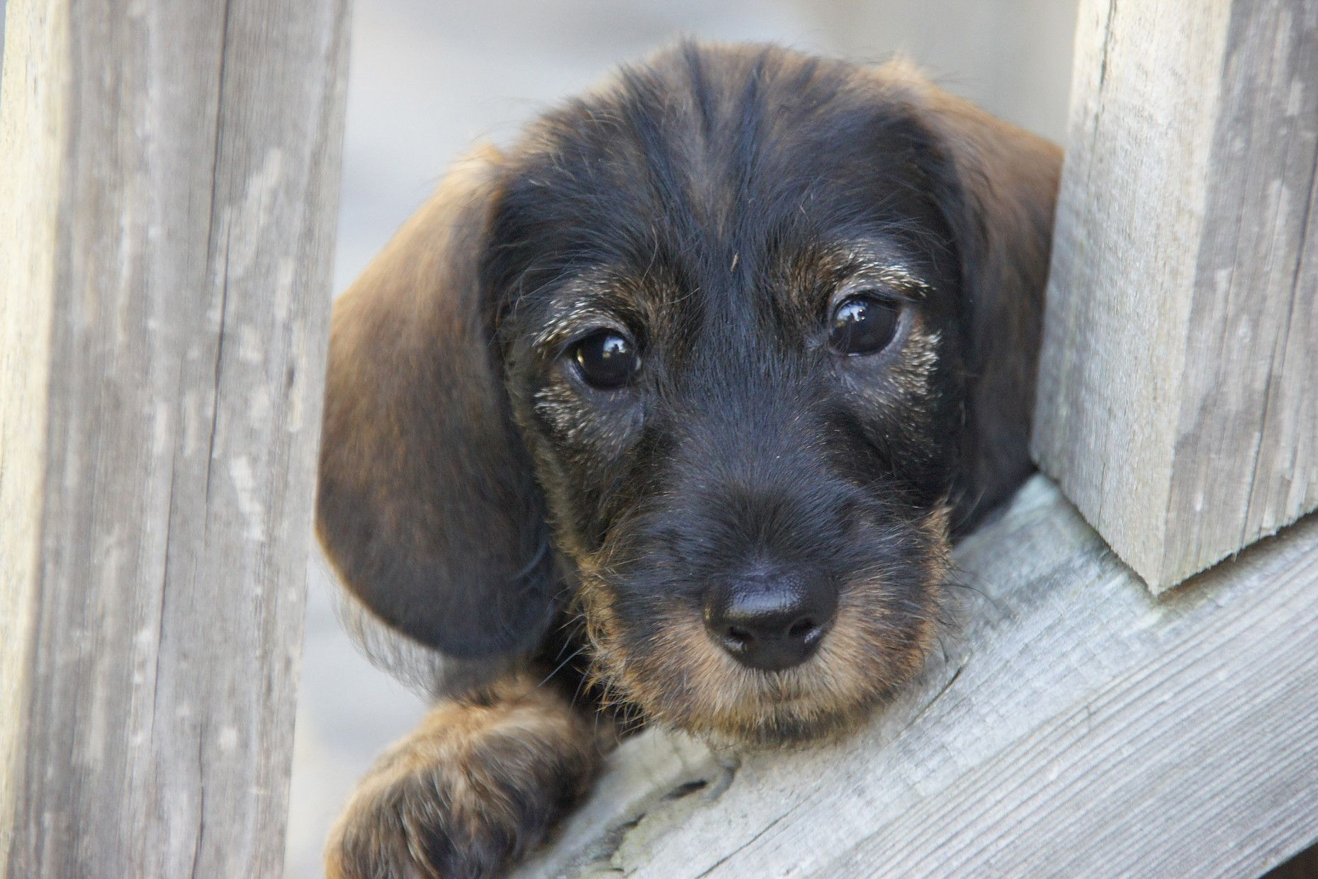 Pin By Betsy Boyles On Dachshund Dachshund Wire Haired