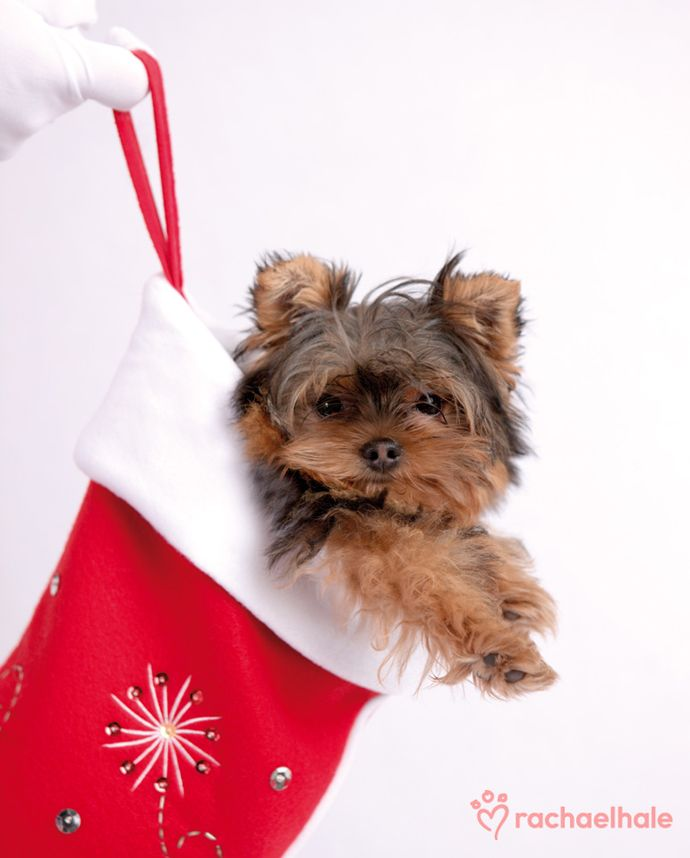 Lilly Yorkshire Terrier Gifts Of Love Make Christmas