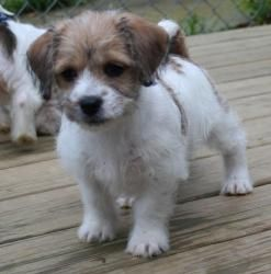 Adopt Cheerio On Shih Tzu Dog Dogs Terrier Mix Dogs