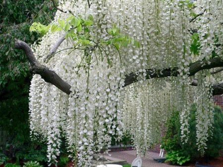 White Flowering Tree Identification Flowered Trees Spring Blooming Green