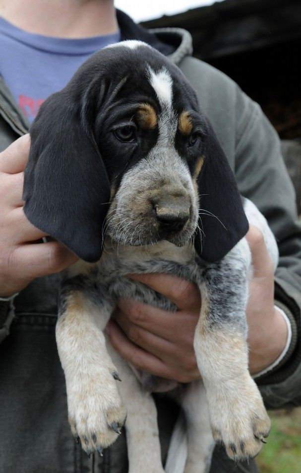 Bluetick Coonhound I Use To Have One Best Dogs Ever Hound