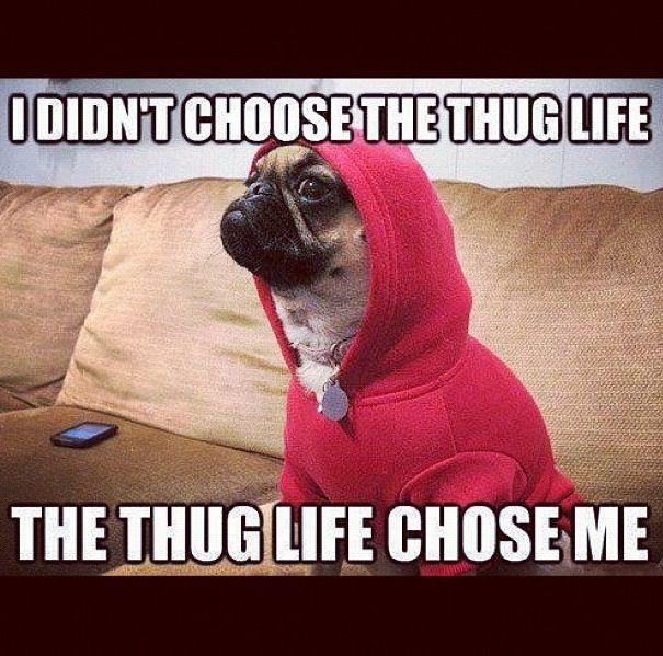 Funny Dog Thug Life Swag Thug Life Pug Life Funny Animal Photos