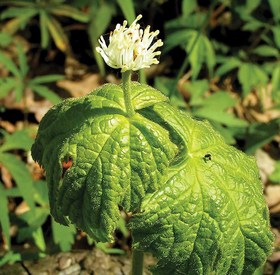 Goldenseal Herb Rare But Can Be Cultivated For Profit And Health