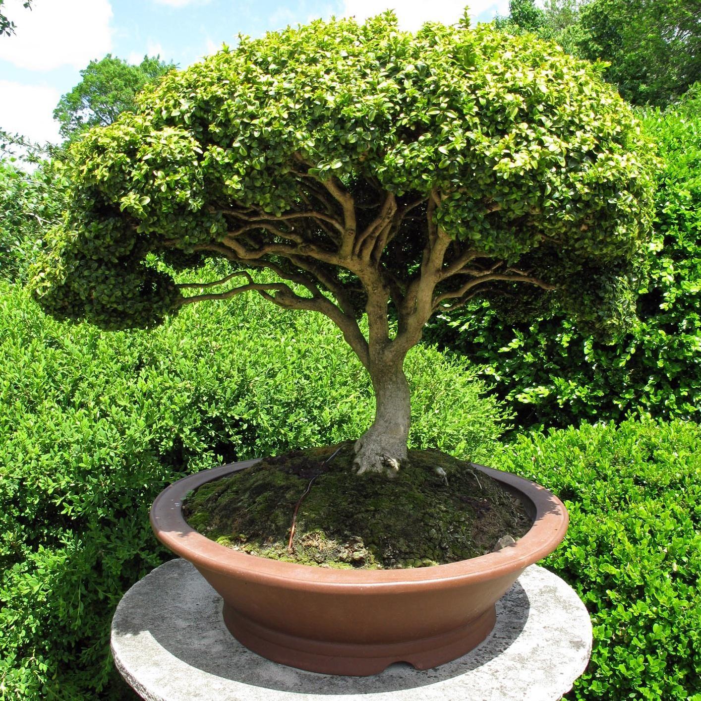 . explicaremos cómo hacer un bonsai a partir de una
