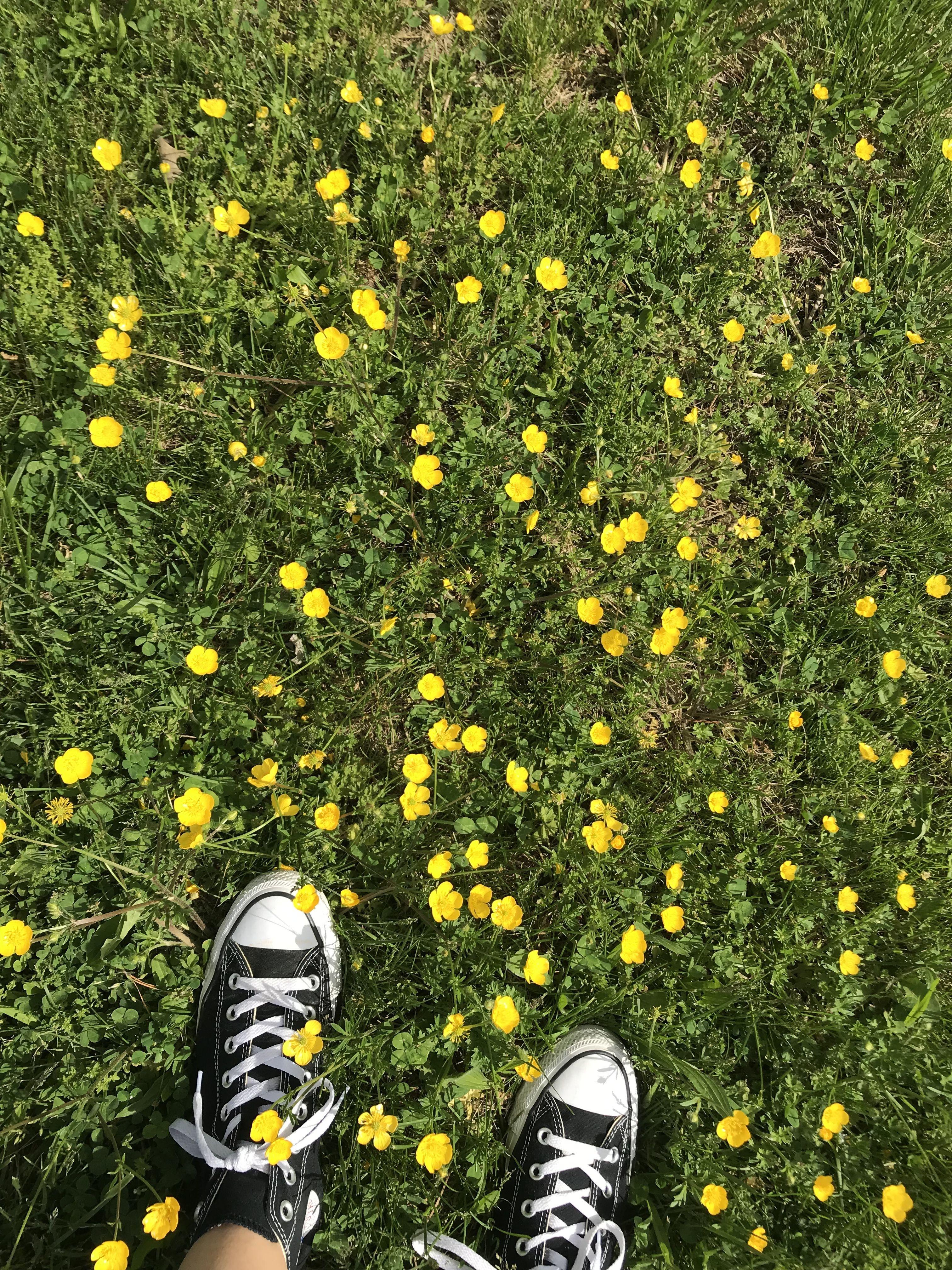 buttercups buttercup flower flower aesthetic yellow aesthetic flower aesthetic