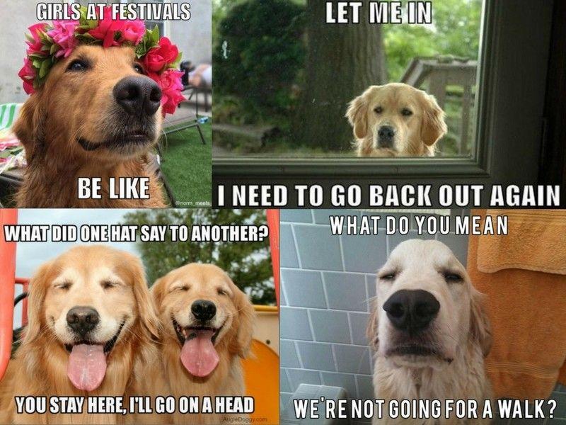 19 Of The Very Best Golden Retriever Memes Dog Breeds Dog Memes