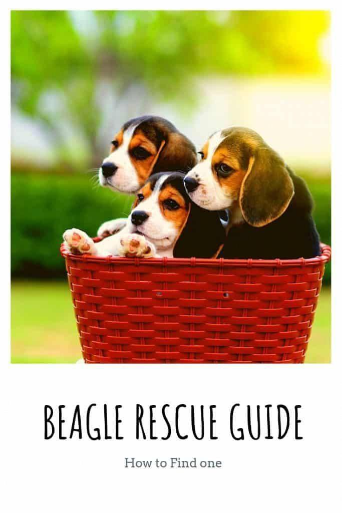 Figure Out More Details On Beagle Pups Check Out Our Internet