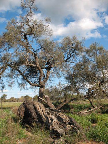 Australian Buloke Tree Hardest Wood Earth Possible