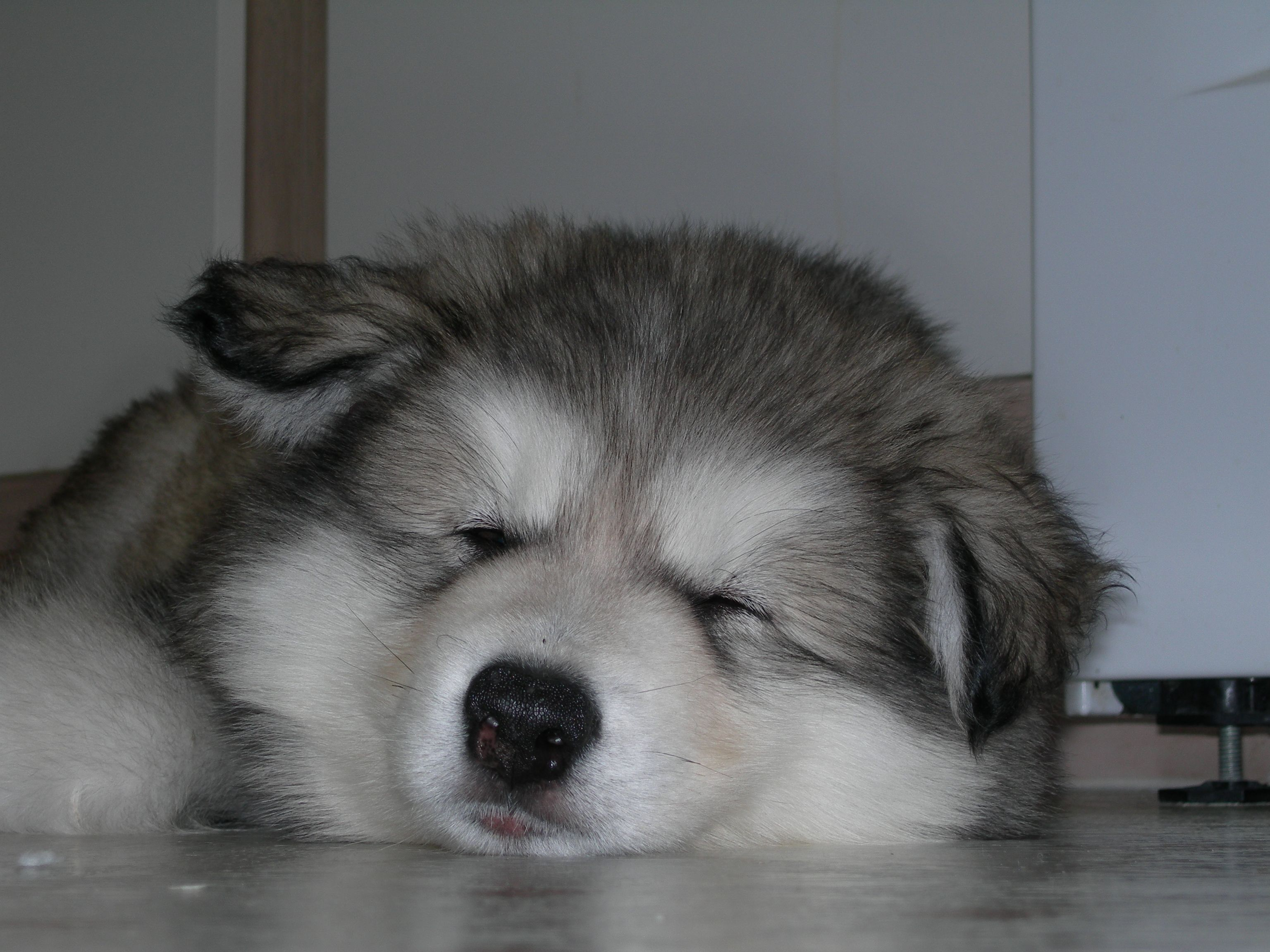 Pets For Sale Puppies For Sale Giant Alaskan Malamutes For Sale