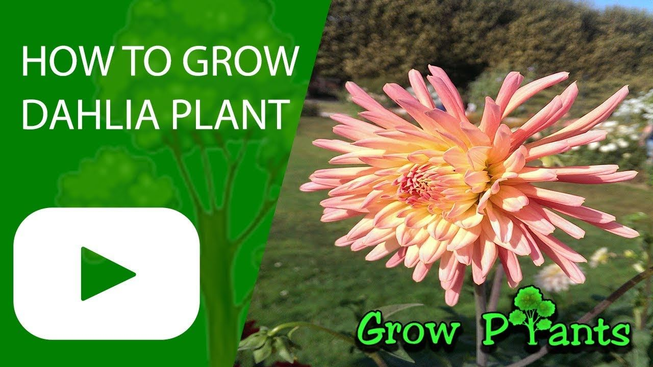 How To Grow Dahlia Plant Plant Information Climate Hardiness Zone Uses Growth Speed Water Requirement Light Exposure P Growing Dahlias Plants Dahlia