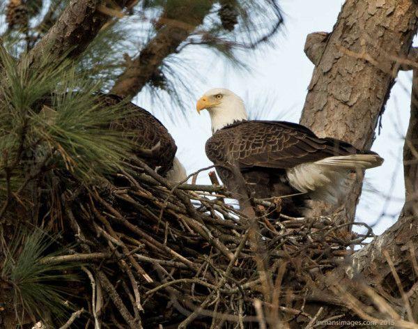 Norfolk Botanical Gardens Bald Eagle Nest