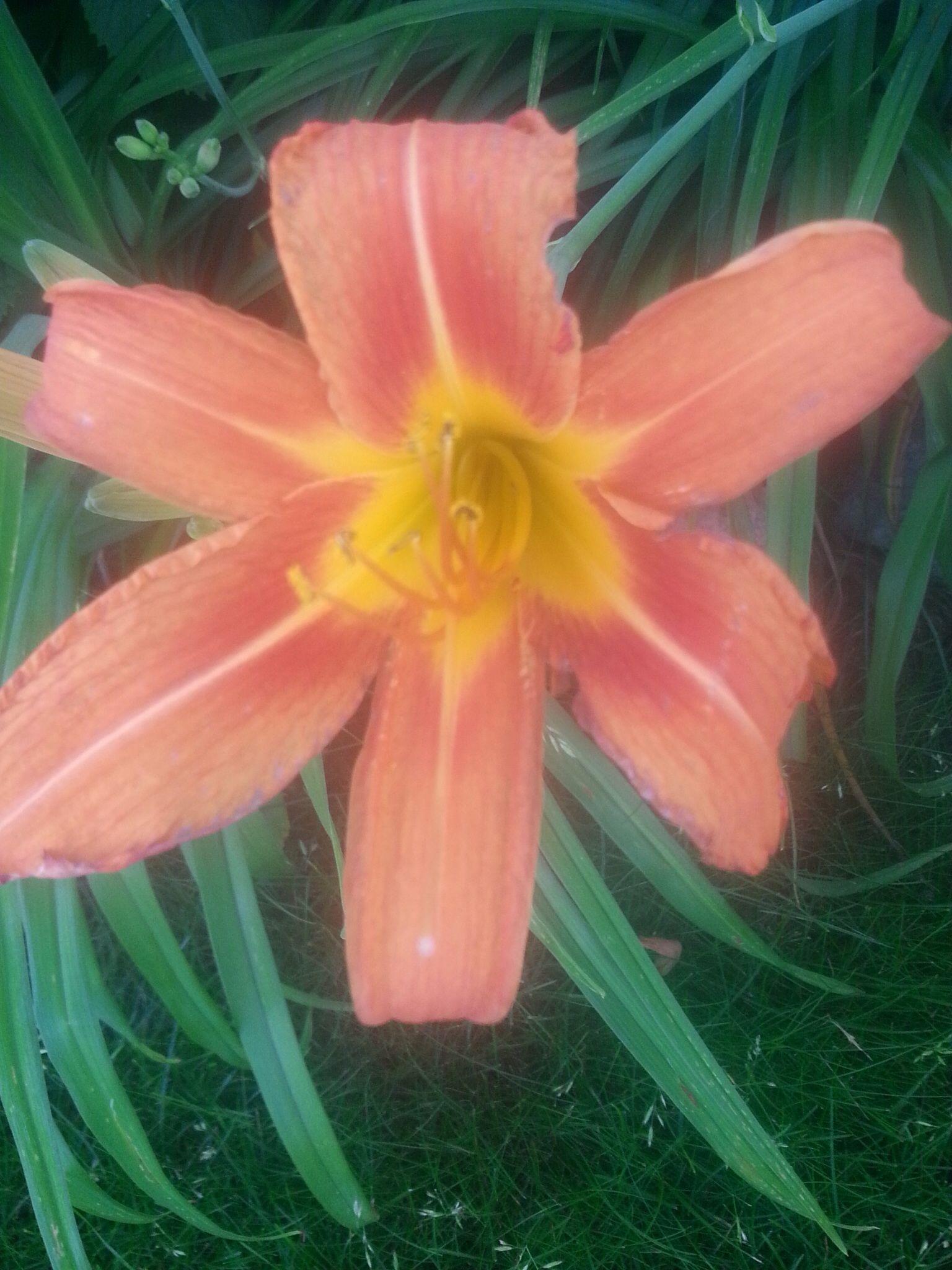 My orange Daylilly