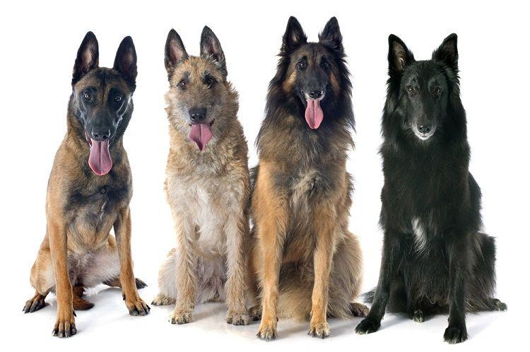 Rasseportrait Belgischer Schaferhund Belgischer Schaferhund