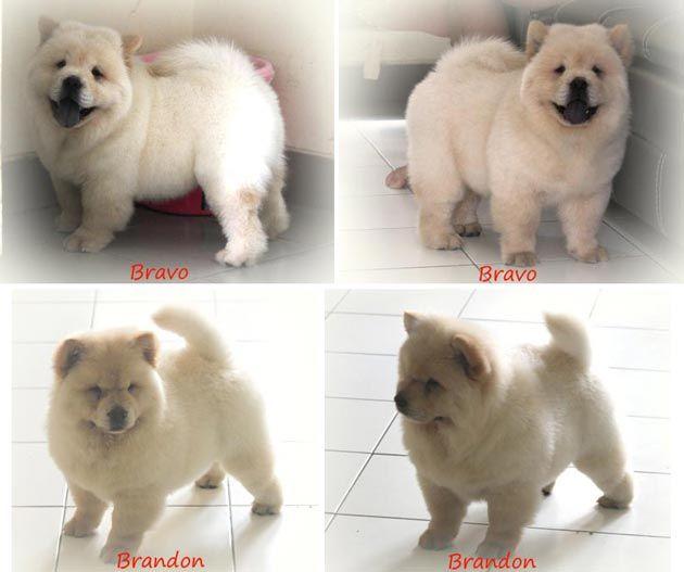 13++ Anjing chow chow terbaru