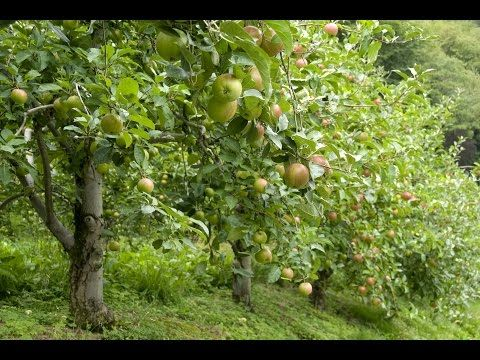 Youtube Fast Growing Trees Apple Tree Pink Lady Apples