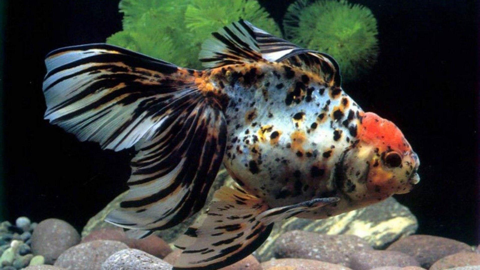Amphilophus Sagittae Fish Hd Wallpapers For Download Aquarium Fish Fish Fish Tank