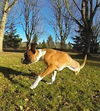 Boxer puppy in Vancouver adapts well to life on two legs