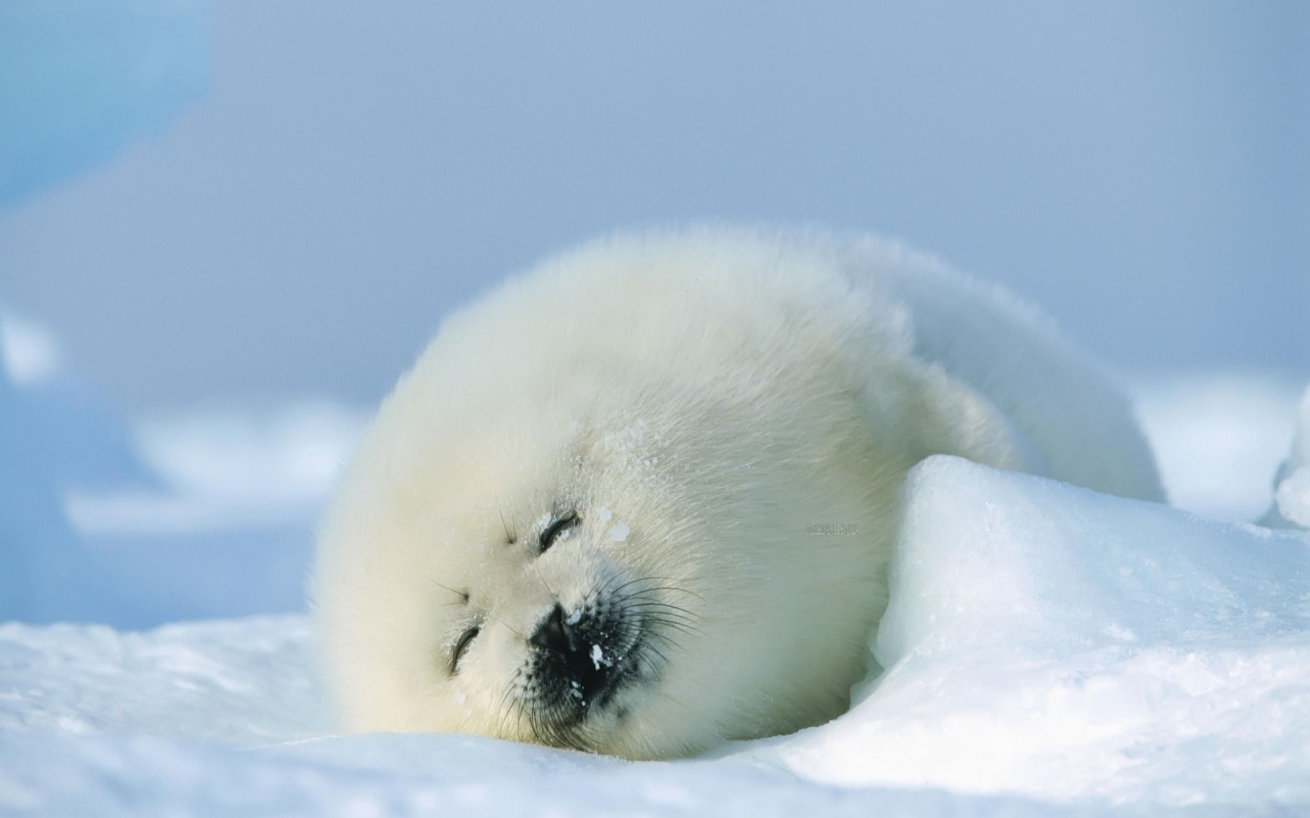 Sweet Dreams Cute Animal Pictures Cute Animal Photos Baby Seal