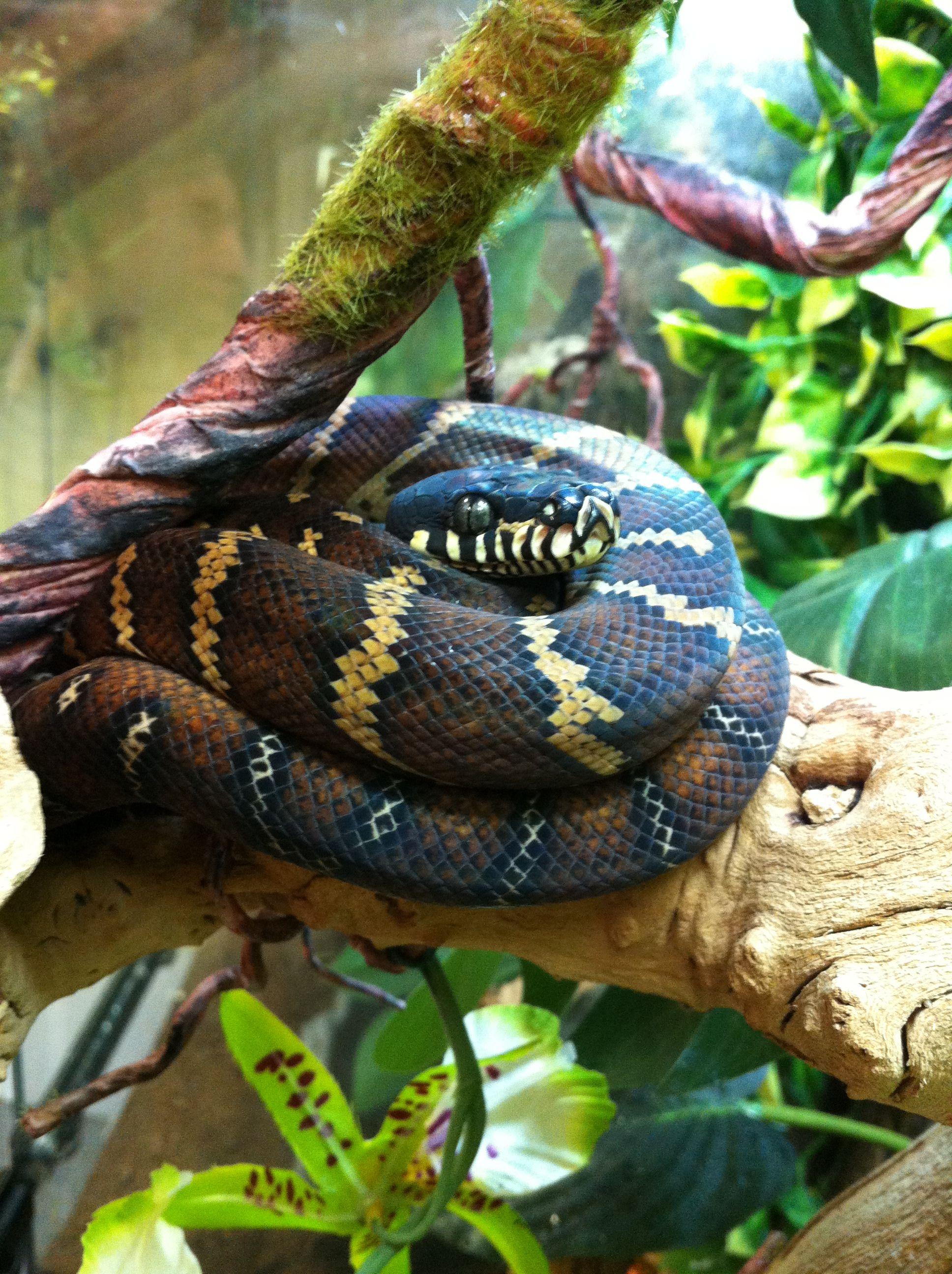 Boelen's Python (Morelia boeleni) Reptiles, Beautiful snakes