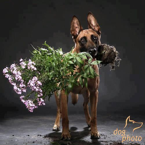 Happy Mother S Day Malinois Dog Malinois Funny Belgian Malinois Dog