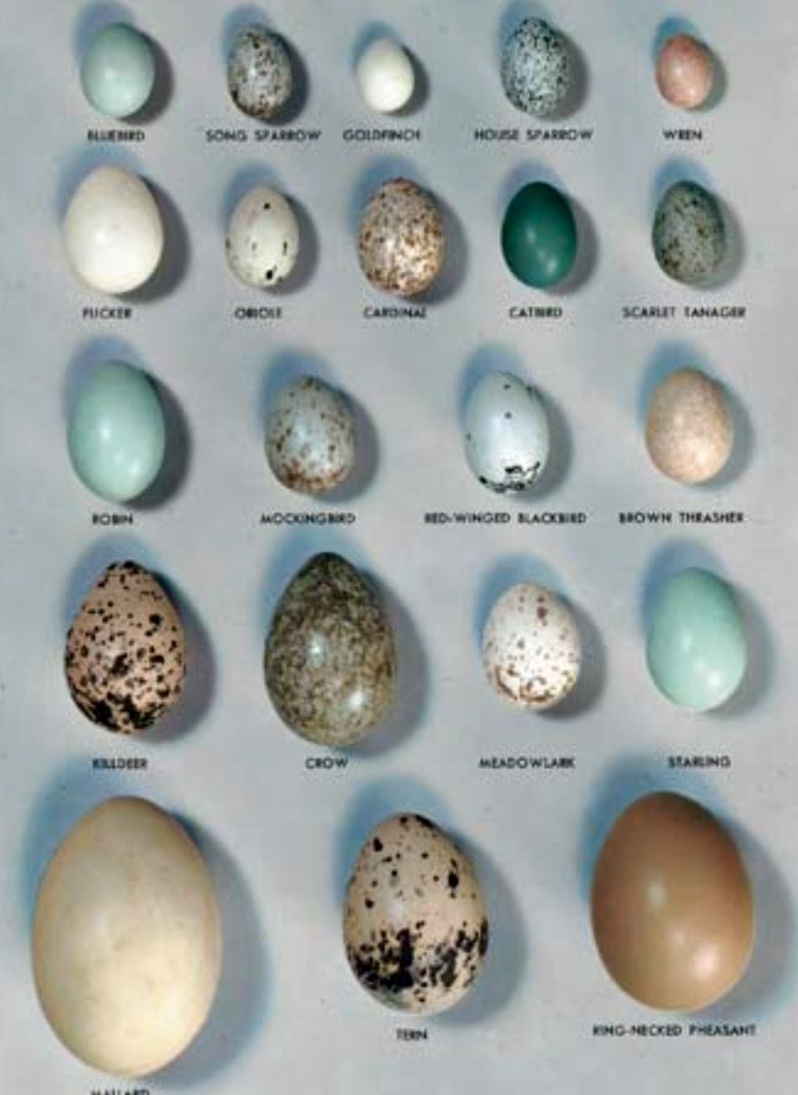 Bird Eggs Diagram Introduction To Electrical Wiring Diagrams