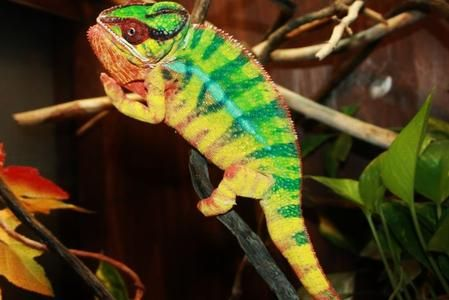 Pascal's daddy, Pastel, from EH Chameleons!