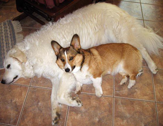 Corgi Henry Fink And His Personal Pillow Kipi Corgi Corgi Pembroke Corgi Dog