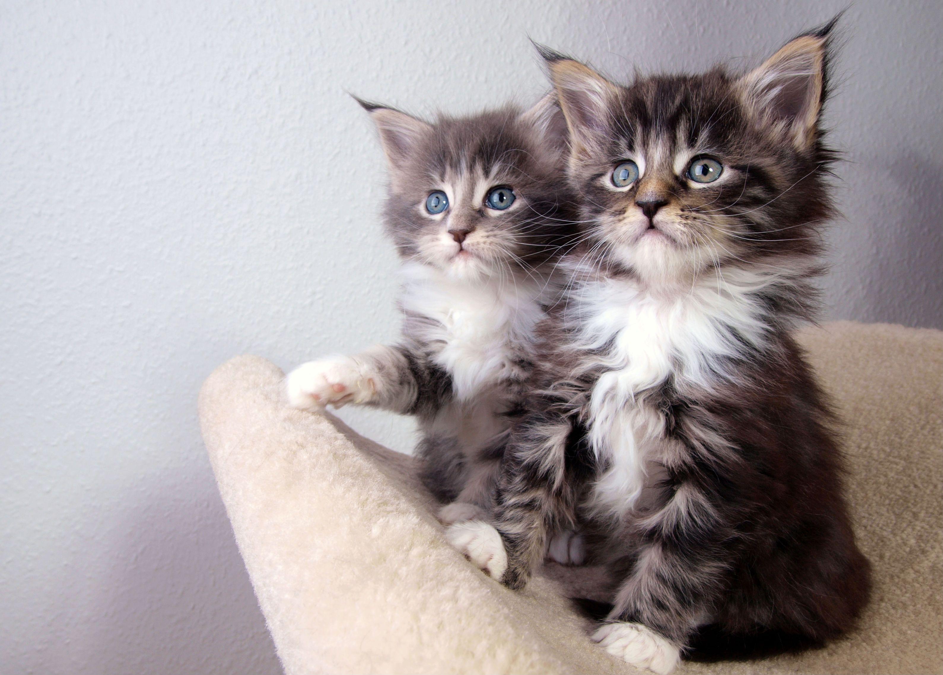 kitten twins | american shorthair cat wallpapers | pinterest