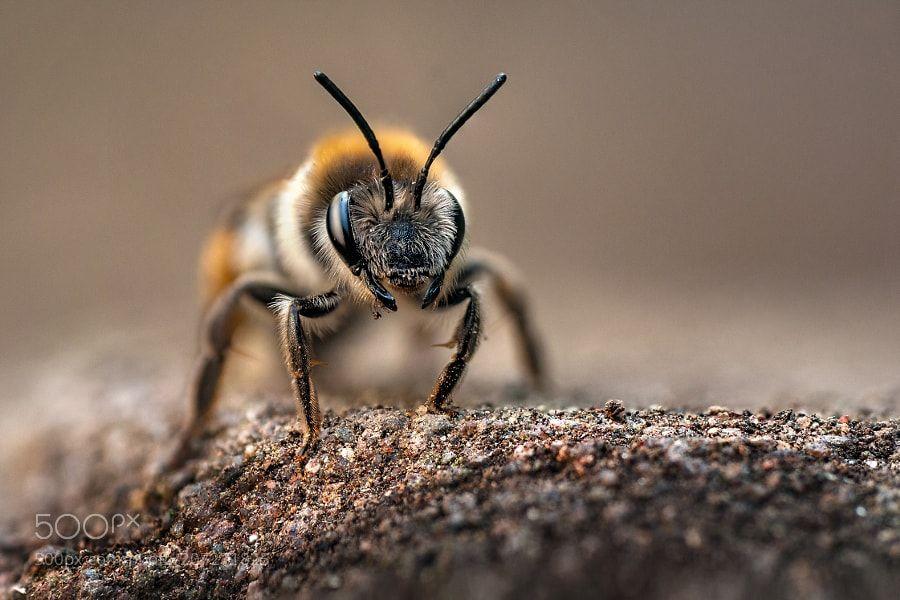 Sandbiene (Andrena)